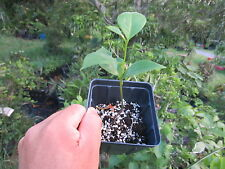 "12"" to 16"" Soursop Annona Muricata Tropical Fruit Tree Plant Guanabana"