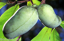 Paw Paw - Asimina triloba - native edible fruit live tree