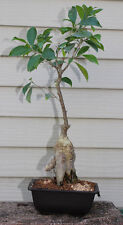 OLD Ginseng Ficus Bonsai Tree  Flowers #8