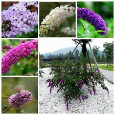 10 Seeds Mixed Colors Butterfly Bush Buddleia Davidii Flower Bonsai Plant Home