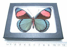 REAL BLUE PINK DARK FORM PERUVIAN BATESIA VERSO FRAMED BUTTERFLY INSECT