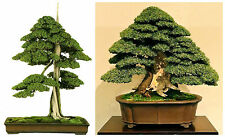 10 semi di Juniperus Rigida, Ginepro tempio, semi bonsai