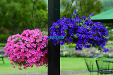 500 Trailing Petunia Seeds Hanging Petunia Hybrida Mixed colors Flower Perennial