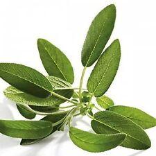 15 Graines BIO de SAUGE - Salvia officinalis - aromatique et médicinale