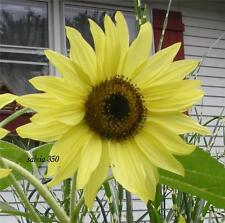 * SUNFLOWER LEMON QUEEN * THE BRIGHTEST YELLOW!!  100 SEEDS