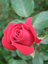 The Double Knock Out Rose Live Plant Bare Rooted