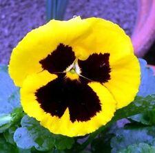 25 graines de Pensée Géante Jaune(Viola wittrockiana)X06 YELLOW PANSY SEEDS