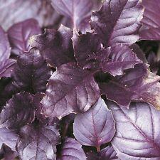 Herb Seeds - Basil Purple - 1000 Seeds
