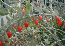 Lycium barbarum GOJI BERRY Shrub SEEDS!