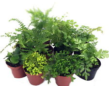 "Mini Ferns for Terrariums/Fairy Garden - 10 Plants - 2"" Pots"