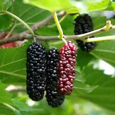 Mulberry (Pakistan) Tropical Fruit Trees