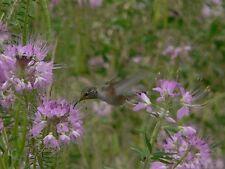 """Rocky Mountain Spinnenblume 20 exotische Samen """"ALLES NUR 1 EURO"""""""