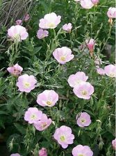 Evening Primrose- Showy Pink- 200 Seeds - 50 % off sale