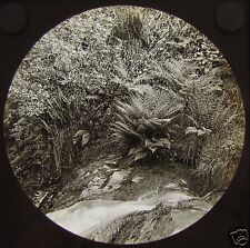 Glass Magic Lantern Slide GLEN MAEY NO2 C1890 ISLE OF MAN IOM FERNS