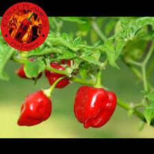 20 semi di peperoncino HABANERO RED SAVINA + OMAGGIO 5 semi di GIRASOLE GIGANTE