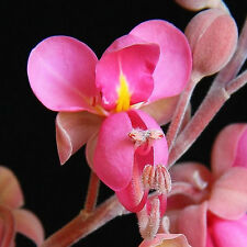 Cassia grandis CORAL PINK SHOWER TREE, Exotic Coral Pink Bloom Clusters ~SEEDS~