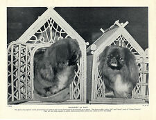 PEKINGESE TWO DOGS IN ORNATE TRANSPORTING BOXES AT A SHOW OLD 1934 DOG PRINT