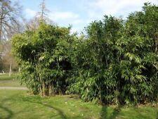 Der Bambus ist ein exotischer, schöner, winterharter Begrüner in Ihrem Garten !