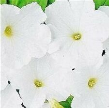 Petunia - Mirage White - 50 Seeds
