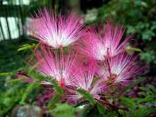 5 graines ARBRE AUX HOUPETTES(Calliandra Eriophylla)H336 PINK FAIRY DUSTER SEED