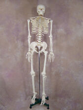 Life-Size 1st Qtly Human Bucky Skeleton Educational NEW
