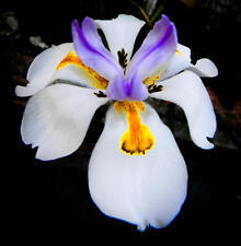 40 AFRICAN IRIS FLOWER SEEDS / BUTTERFLY IRIS / DROUGHT AND FROST HARDY