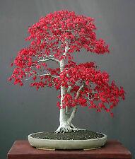 Acer Palmatum Arce Rojo 50 semillas Bonsai