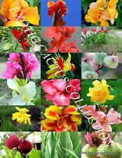 CANNA LILY MIX, exotic tropical flowering pond ginger lilies bulbs seed 10 SEEDS