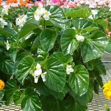Begonia Seeds Higro White 50 Pelleted Seeds flower seeds Wax Begonia Seeds