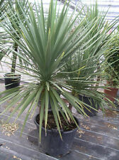 Cordyline Australis - cabbage palm 20 Finest UK crop seeds