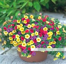 FD1209 Petunia Seeds Shuttlecock Flower Horn Sweet Potato Bonsai Flowers ~50PCs♫
