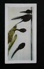 TADPOLES      Original 1960 Colour Photo Card