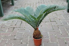 Indoor Plant -House or Office Plant - Cycas Revoluta - Japanese Sago Palm- 60cms