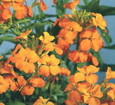 Cheiranthus allionii Orange - Siberian Wallflower - 500 seeds - Annuals