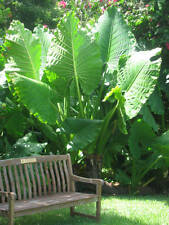 "Alocasia plant ""Borneo Giant"" elephant ear NEW"
