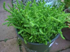 "NEW ITEM-""Watch Chain"" Crassula Lycopodiodes-Live"