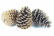Extra Large Giant Pine Cones. Box Of 6