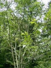 20 CAUCASIAN NETTLE TREE SEEDS -  ( Hackberry )  Celtis caucasica