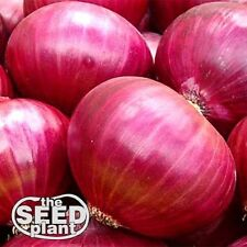 Red Creole Onion Seeds - 300 SEEDS-SAME DAY SHIPPING