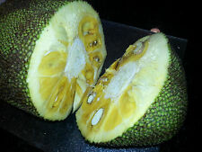 15 EXOTIC JACKFRUIT SEEDS Tropical Flower Tree WORLD LARGEST FRUIT Honey Nangka