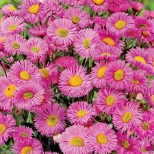 500 Erigeron Seeds - Pink Jewel - Must-have for the perennial flower garden.