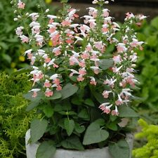 50 Salvia Summer Jewel Pink FLOWER SEEDS