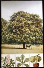 Old Postcard of The Horse-Chestnut - 1901