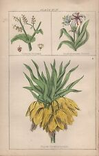 1860 Ca ANTIQUE BOTANICAL PRINT-CHINESE RHUBARB,SMALL AMERICAN CRINUM,YELLOW CRO
