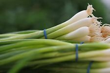200+ Onion Seeds- Scallions- White Bunching Southport-       $1.69 Max Shipping