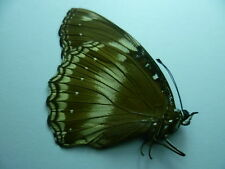 Hypolimnas bolina,  UNMOUNTED,  SIN MONTAR  A1   BUTTERFLY