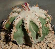 Aztekium hintonii 1356 Cactus Plant Kaktus Ariocarpus Astrophytum Copiapoa