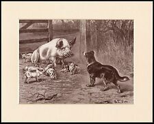 BORDER COLLIE PIG AND PIGLETS LOVELY IMAGE DOG PRINT MOUNTED READY TO FRAME