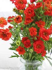 50 graines Benoîte du Chili Fleur Vivace (Geum) Avens 'Mrs Bradshaw' Seeds