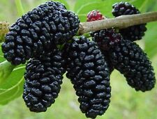 "(2) SWEET & TASTY BLACK MULBERRY FRESH CUTTINGS 6-8"" LONG"